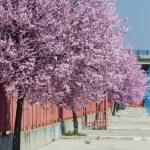 Sakura bloemen bloeien. mooie roze kersenbloesem — Stockfoto