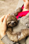Three-toed sloth in the Iquitos, Peru — Foto Stock