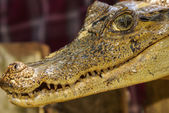 Dwarf Caiman (Palaeosuchus trigonatus) In rainforest, in Peru — Stock Photo