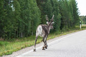 Reindeer on the road. Northern Finland — Stock Photo