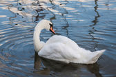 Beautiful young swans in lake — Stock Photo