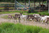 Herd of reindeer in the Norway — Stock Photo