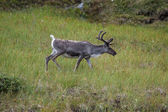 Reindeer stag with exceptionally long antlers — Stock Photo