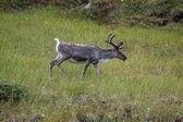 Beklenenden çok daha uzun boynuzlu geyik Ren geyiği — Stok fotoğraf