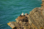 Stork nest at the edge of the cliff, Cabo Sardao, Alentejo, Port — Foto Stock
