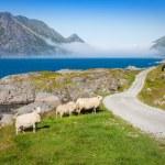 Sheep walking along road. Norway landscape — Stock Photo #46094155