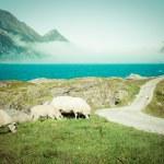 Sheep walking along road. Norway landscape — Stock Photo #46094171