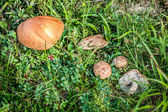 Three Mushrooms in the Grass closeup at the Summer Day — Zdjęcie stockowe