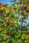 Rowan tree with red berries and leaves — Stock Photo