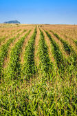 Green Corn field in the France — Stock Photo