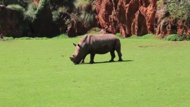 Rhinoceros in the wild. Kenya,Africa — Stock Video
