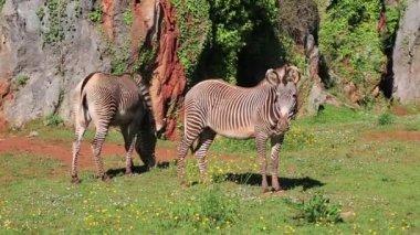 Wild Zebra feeding in the grassland plains of Lake Nakuru, Kenya, Africa. — Stock Video