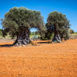 Ibiza island landscape with agriculture fields on red clay soil — Stock Photo #47393023