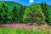 Wilde orchideeën in een alpiene weide. melchsee-frutt, zwitserland — Stockfoto