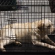 Stock Photo: Labrador retriever in its kennel at international dogs exhibition of Milan, Italy