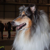 Portrait of a Shetland Sheepdog at the international dogs exhibition of Milan, Italy — Stock Photo