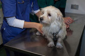 Veterinarian examining a cute white dog — Photo