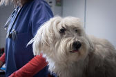 West highland white terrier dog with veterinarian — Foto de Stock