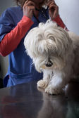 West highland white terrier dog with veterinarian — Stok fotoğraf