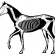 Stock Vector: Horse skeleton