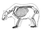 Bear skeleton — Stock Vector