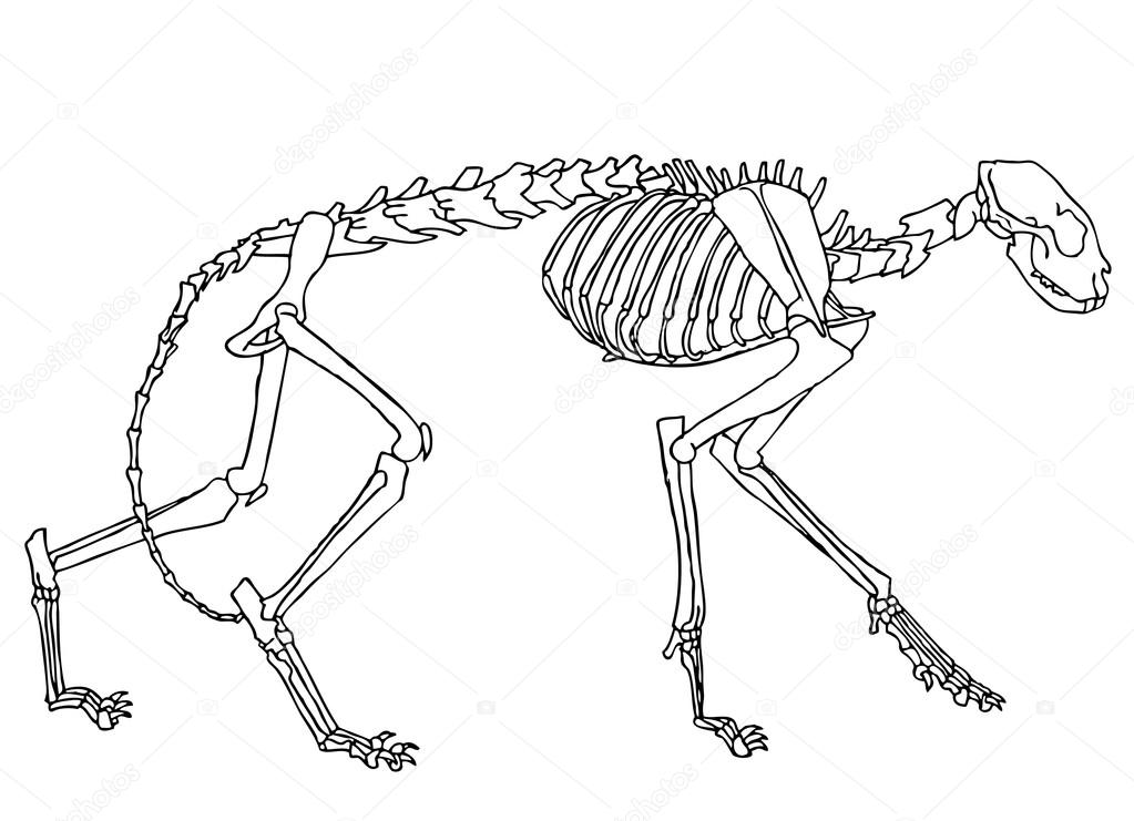 Cat Skeleton Drawing Illustration of Cat Skeleton