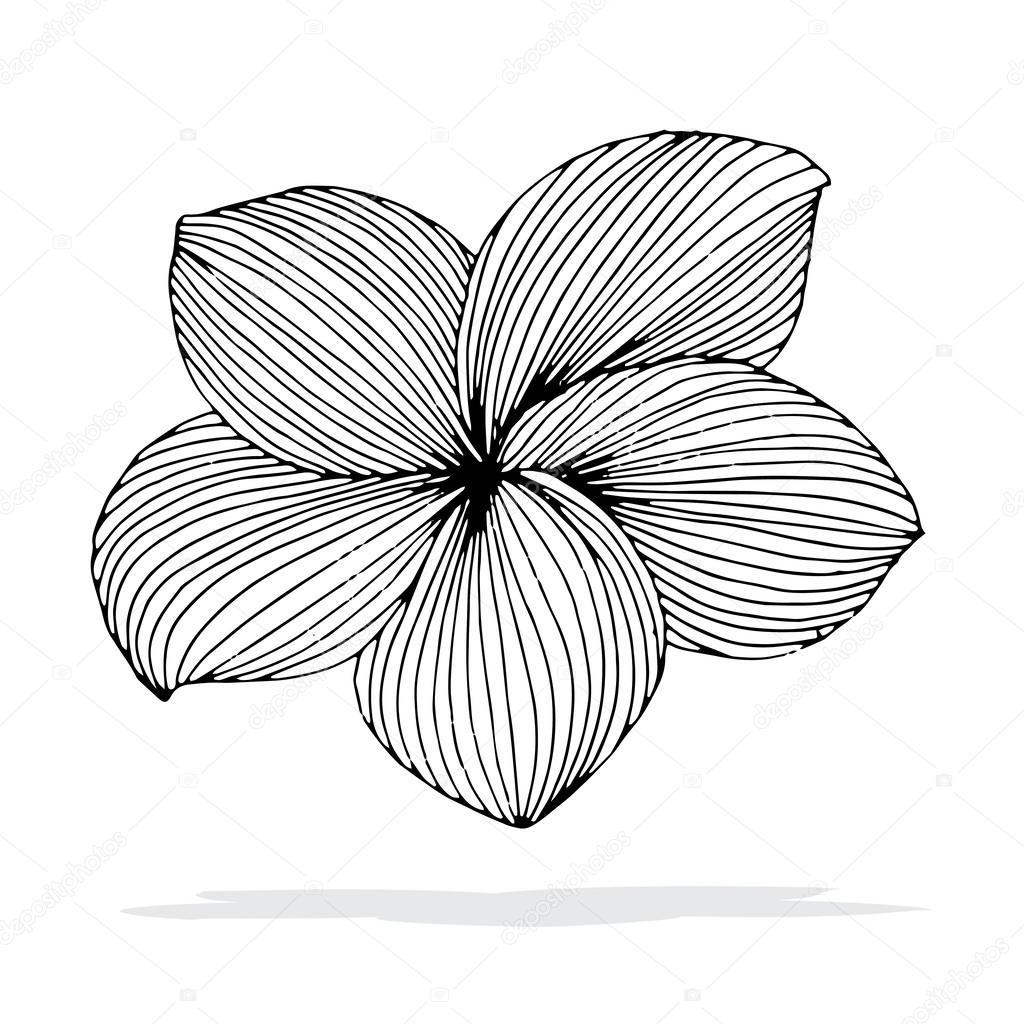 Fleurs Frangipanier Dessin