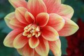 Ritratto di macro fiore girato in giardino — Foto Stock