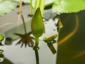 Buds lotus over water,Commitmen — Stok fotoğraf
