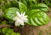 Blooming jasmin — Foto Stock