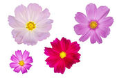 Blooming cosmos flowers isolated on white backgroun — Stock Photo