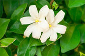 Flowers of jasmine — Stock Photo