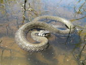 Snake on water — Stock Photo