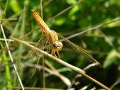 Yellow dragonfly — Stock Photo
