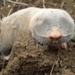 Mole on a clod — Stock Photo