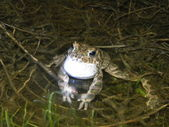 Singing toad — Stock Photo