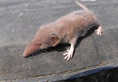 European shrew — Stock Photo