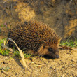 Brown hedgehog — Stock Photo #19048859