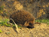 Brown hedgehog — Stock Photo