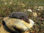Little shrew — Stock Photo