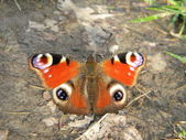 Peacock butterfly — Stockfoto