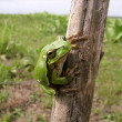 Sticky frog — Stock Photo