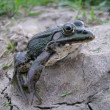 Amphibian — Stock Photo