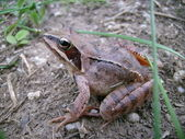 Brown amphibian — Stock Photo