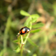 Black ladybird — Stock Photo