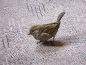 A sparrow in the house — Stock Photo