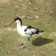 Pied Avocet — Stock Photo