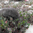 Little rodent in the grass — 图库照片