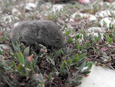 Pequeño roedor en la hierba — Foto de Stock
