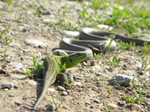 Lizard with snake — Stock Photo